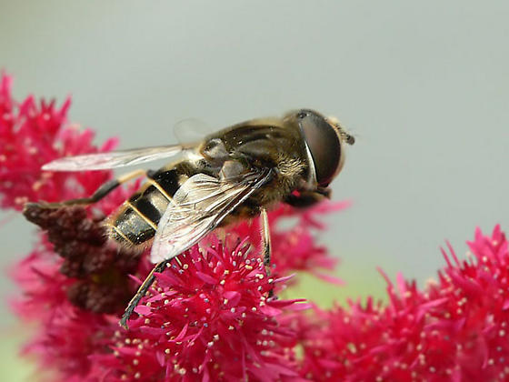 Could it be Eristalis??? - Eristalis dimidiata - male