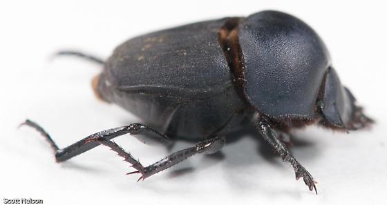 Melanocanthon sp. - Melanocanthon granulifer