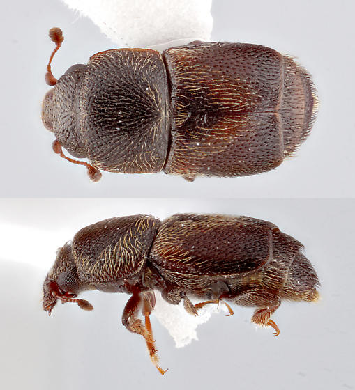 sap beetle - Carpophilus dimidiatus - male