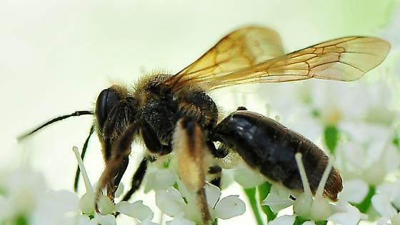 Minning Bees Andrena crataegi - Hawthorn Andrena  - Andrena crataegi