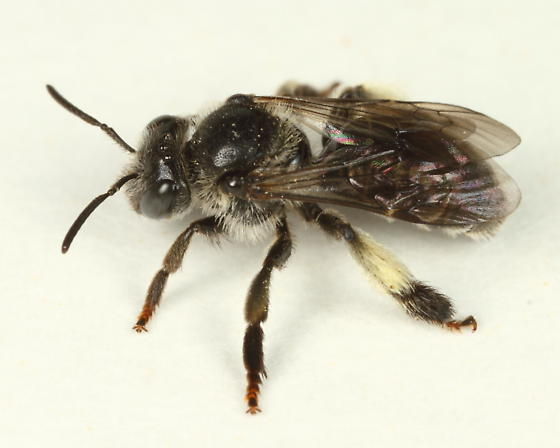 Macropis nuda - female