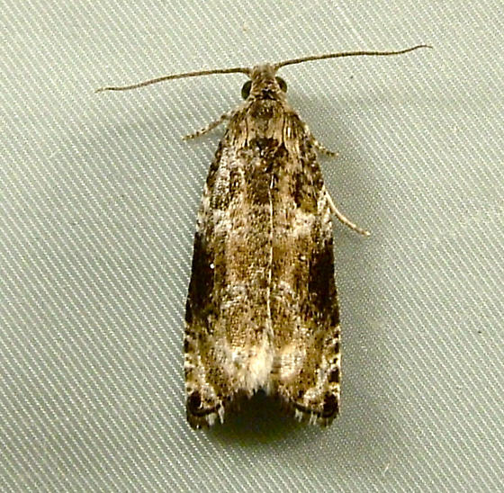 2432 Olethreutes appendiceum - Serviceberry Leafroller Moth 2821 - Olethreutes appendiceum