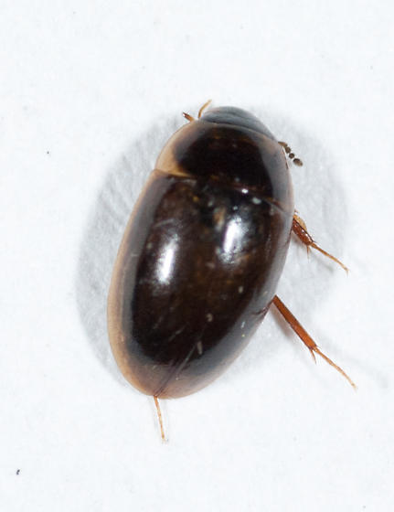 Hydrophilidae #1 - Enochrus