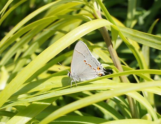 Gray Hairstreak Butterfly (Strymon melinus) - Strymon melinus