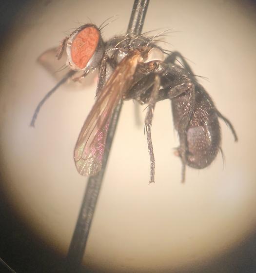 Postscutellum but keys to Muscidae?
