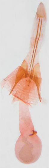 Gelechiidae from prairie sage, female genitalia - Scrobipalpa artemisiella - female