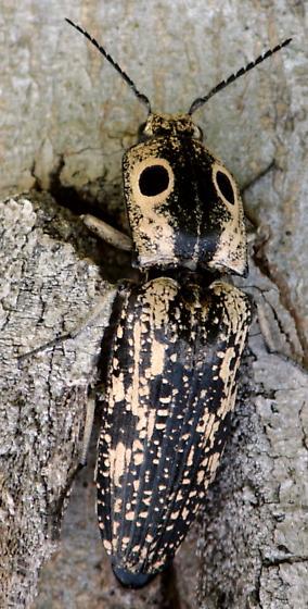 Texas Click Beetle - Alaus