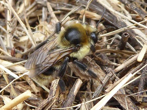 Bombus male scent marking - Bombus rufocinctus - male