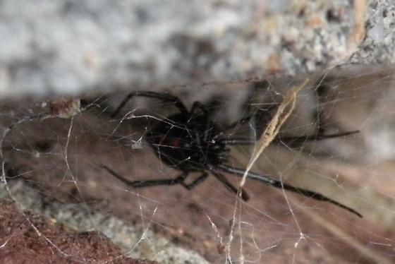 In a tight spot - Latrodectus