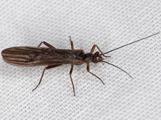 Plecoptera IMG_5732