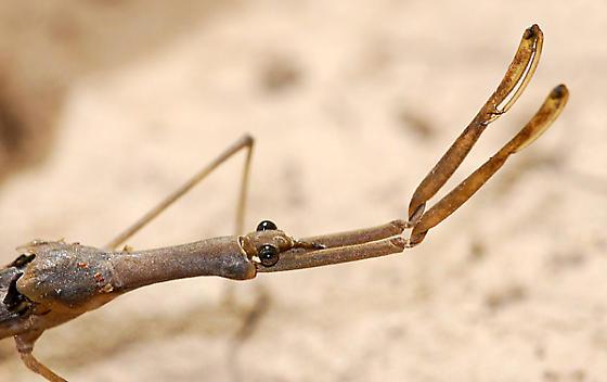 Water Scorpion (Ranatra sp.) - Ranatra quadridentata