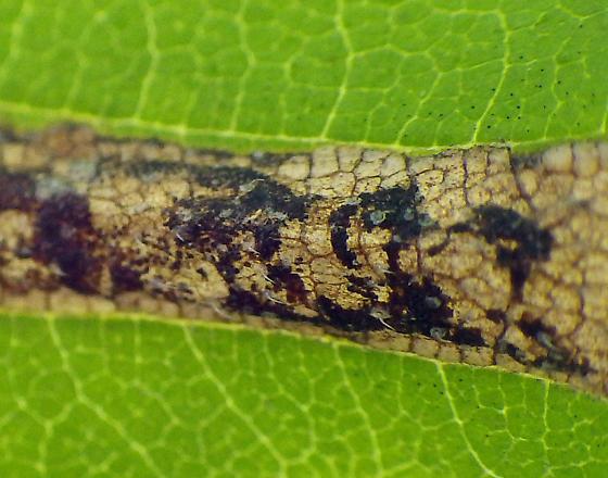 elm leaf miner - Ectoedemia ulmella
