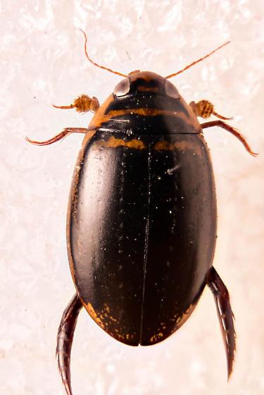 Diving Beetle - Thermonectus basillaris - male