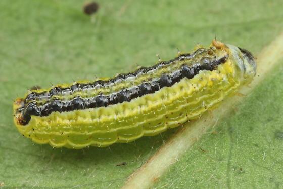 Caterpillar on coma - Lactura atrolinea