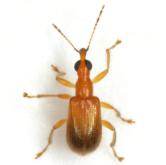 Eugnamptus cinctus Sharp - Eugnamptus cinctus
