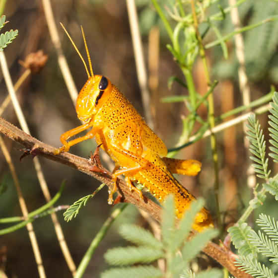 Unknown Grasshopper - Schistocerca