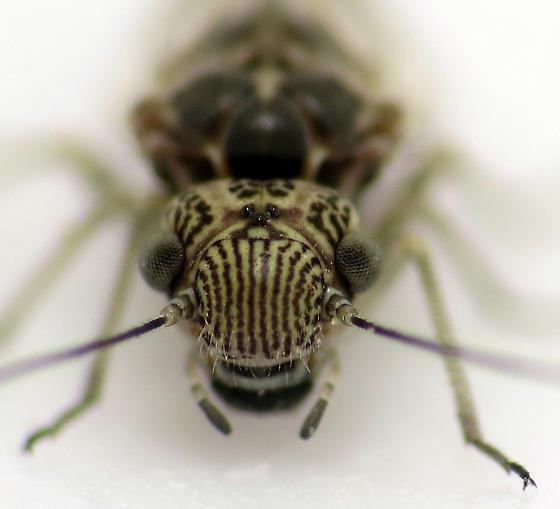 Leafhopper? - Amphigerontia petiolata