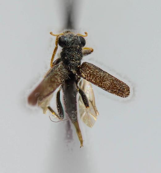 Cleridae - Phyllobaenus? - Phyllobaenus
