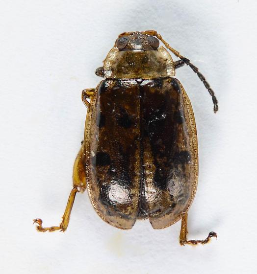Capraita? - Walterianella durangoensis