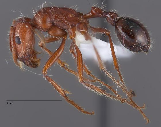 Pogonomyrmex - Pogonomyrmex californicus