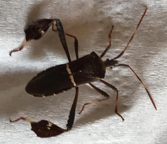 Unidentified leaf-footed bug