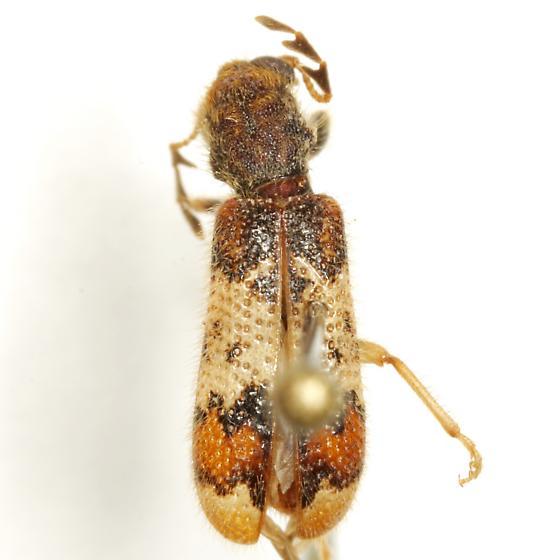 Pelonium leucophaeum (Klug) - Pelonium leucophaeum - male