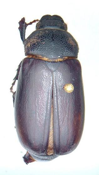 Phyllophaga profunda - female
