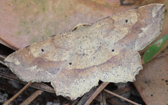 Leaf Litter Moth - Euchlaena deplanaria