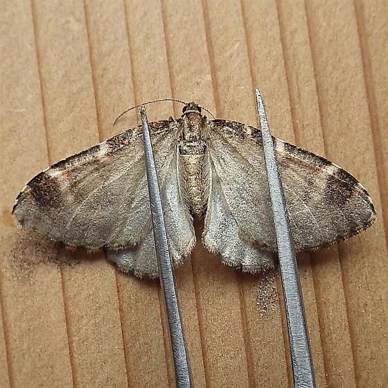 Geometridae: Stamnodes blackmorei - Stamnodes blackmorei
