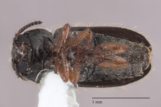 Coleoptera 22 - Trichochrous