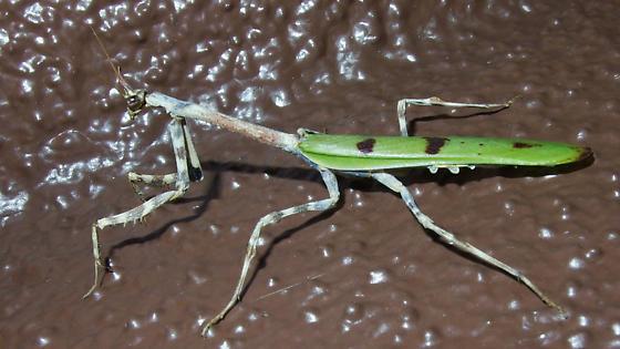 Pseudovates arizonae