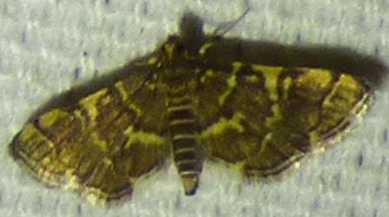 Anageshna primordialis - Yellow-spotted Webworm Moth - Anageshna primordialis