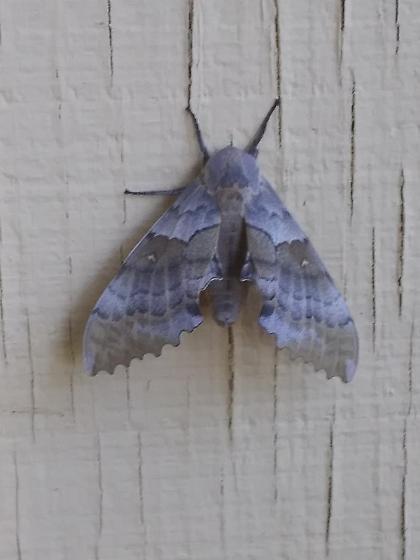 Unusual Moth - Pachysphinx occidentalis