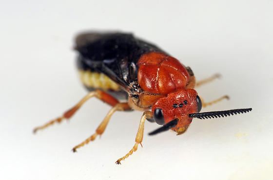 Sawfly - Neodiprion lecontei