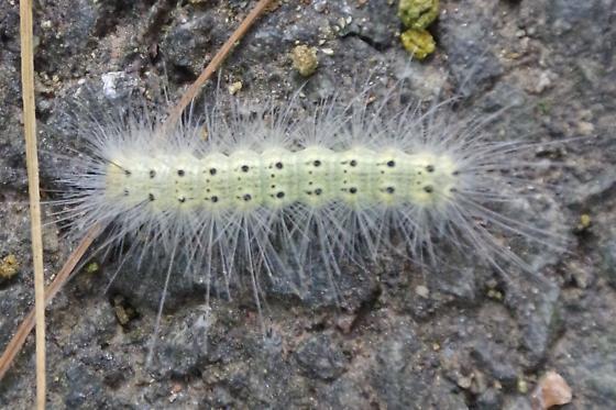 Which caterpillar? - Hyphantria cunea