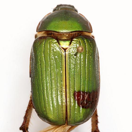 Chrysina lecontei (Horn) - Chrysina lecontei