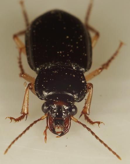Anisodactylus sp.? - Anisodactylus verticalis