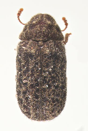 Endecatomidae, dorsal - Endecatomus rugosus