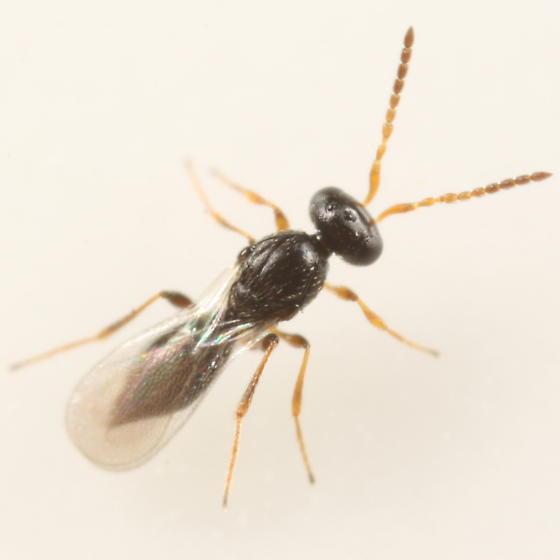 Platygastrid ex Uvularia sessilifolia spot gall midge - Platygaster uvulariae - female