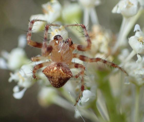 Orbweaver  - Araneus
