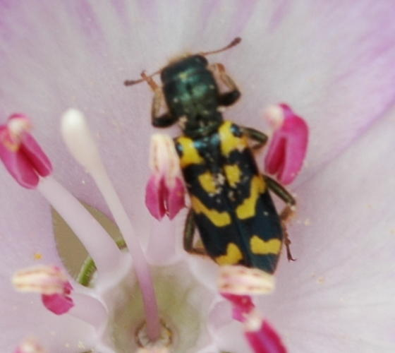 Flower Beetle - Trichodes ornatus