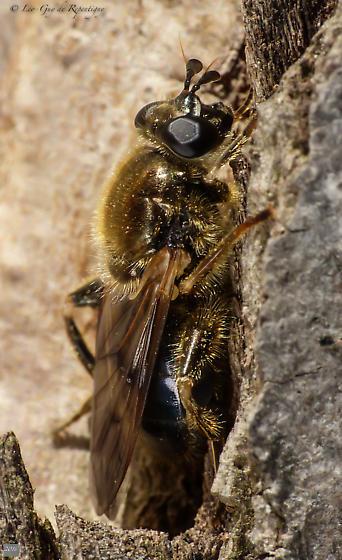 Diptera- Syrphidae? - Brachypalpus oarus