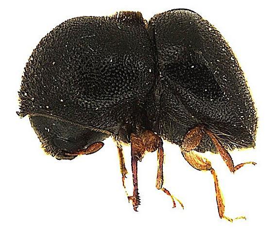 Xylosandrus mutilatus (Blandford) - Cnestus mutilatus - female