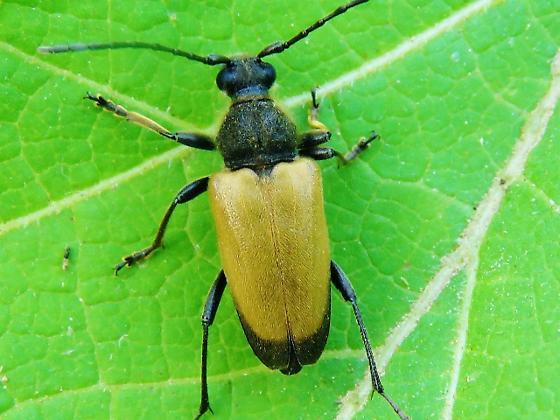 Id help needed - beetle - Trigonarthris minnesotana