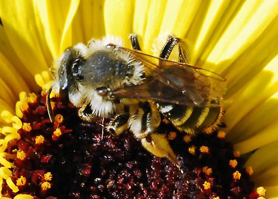 Husky Bee on Encelia - Andrena - female