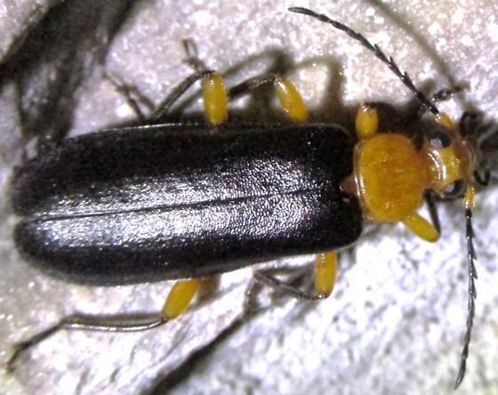 pyrochroid - Neopyrochroa femoralis - female