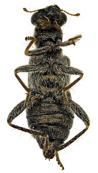 Phyllobaenus obscurus? - Phyllobaenus discoideus