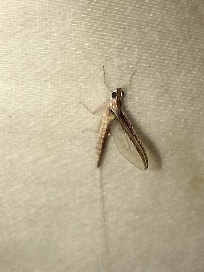Callibaetis species - Callibaetis fluctuans