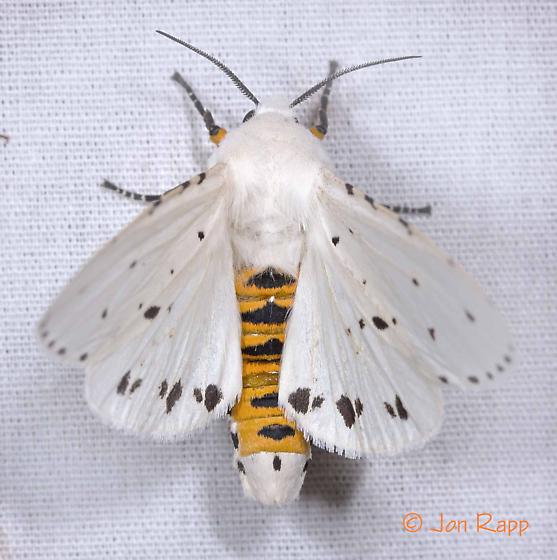 Tiger Moth - Estigmene albida