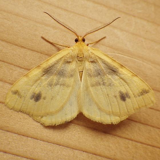 Geometridae: Speranza ribearia - Macaria ribearia - male